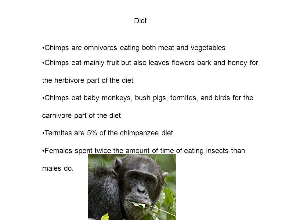 Diet Chimps are omnivores eating both meat and vegetables.