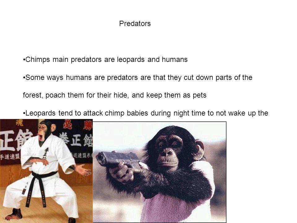 Predators Chimps main predators are leopards and humans.