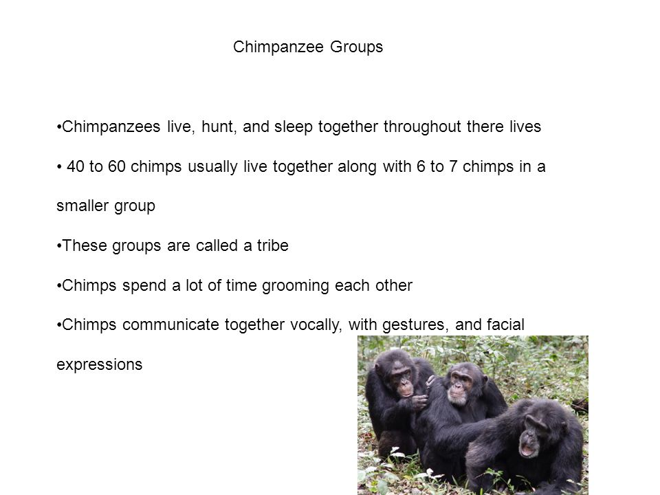Chimpanzee Groups Chimpanzees live, hunt, and sleep together throughout there lives.