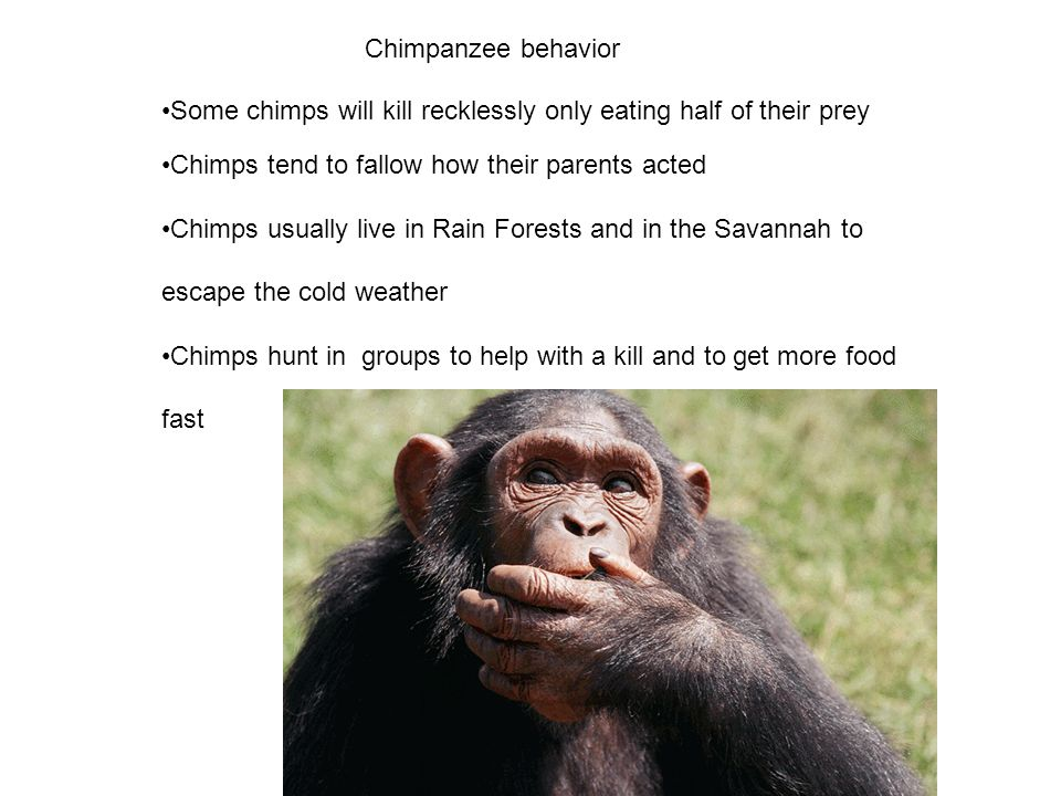 Chimpanzee behavior Some chimps will kill recklessly only eating half of their prey. Chimps tend to fallow how their parents acted.