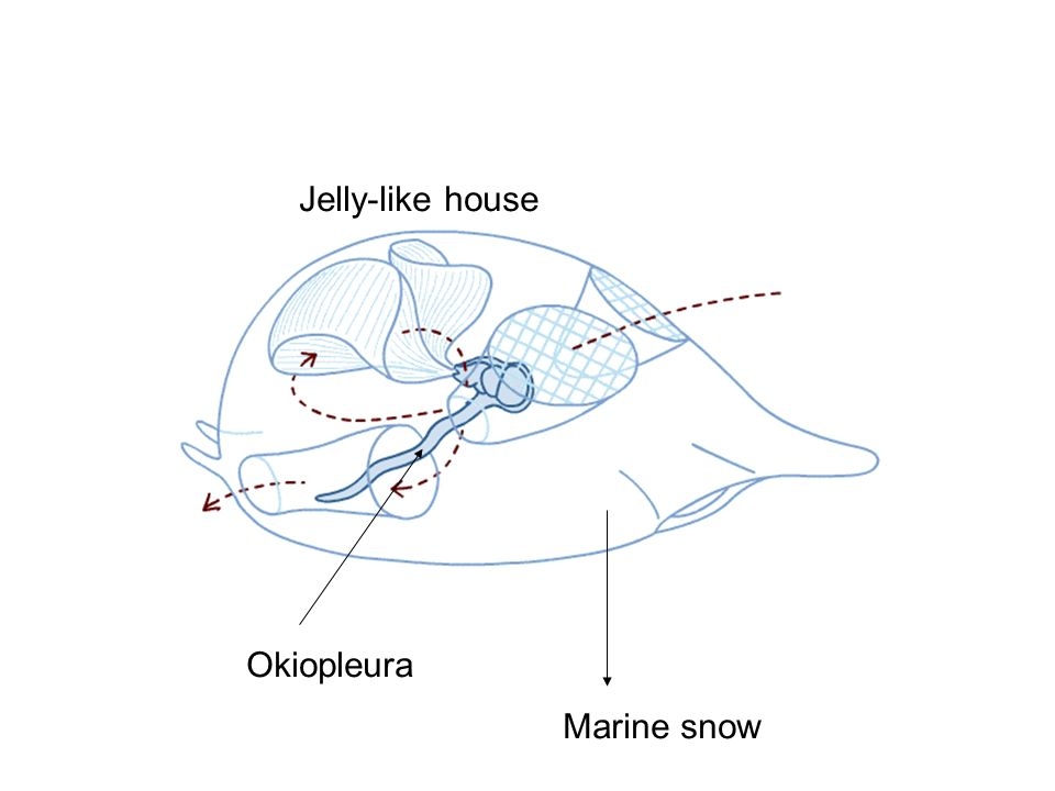 Jelly-like house Okiopleura Marine snow