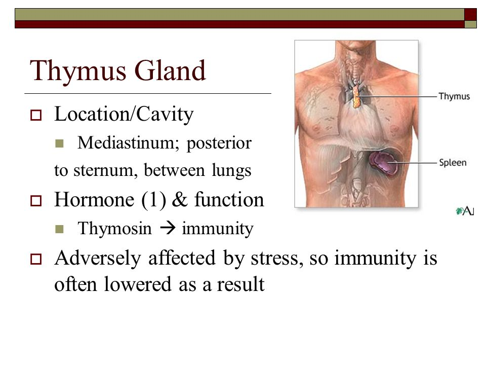 Images of Thymus Function - www.autopulley.info