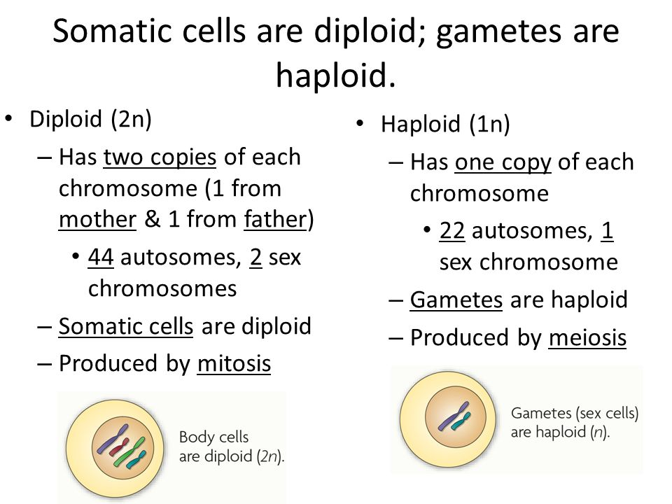 Are sex cells haploid or diploid galleries 83