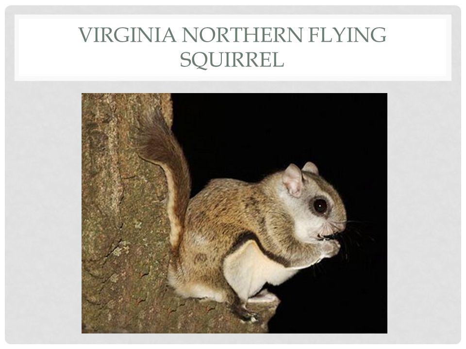 Virginia Northern Flying Squirrel