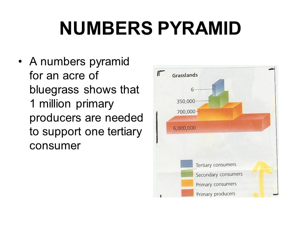 NUMBERS PYRAMID A numbers pyramid for an acre of bluegrass shows that 1 million primary producers are needed to support one tertiary consumer.