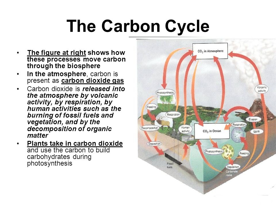 The Carbon Cycle The figure at right shows how these processes move carbon through the biosphere.