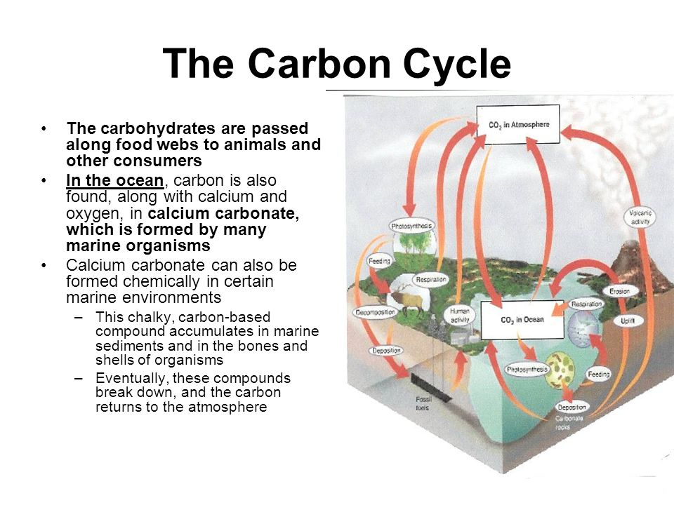 The Carbon Cycle The carbohydrates are passed along food webs to animals and other consumers.