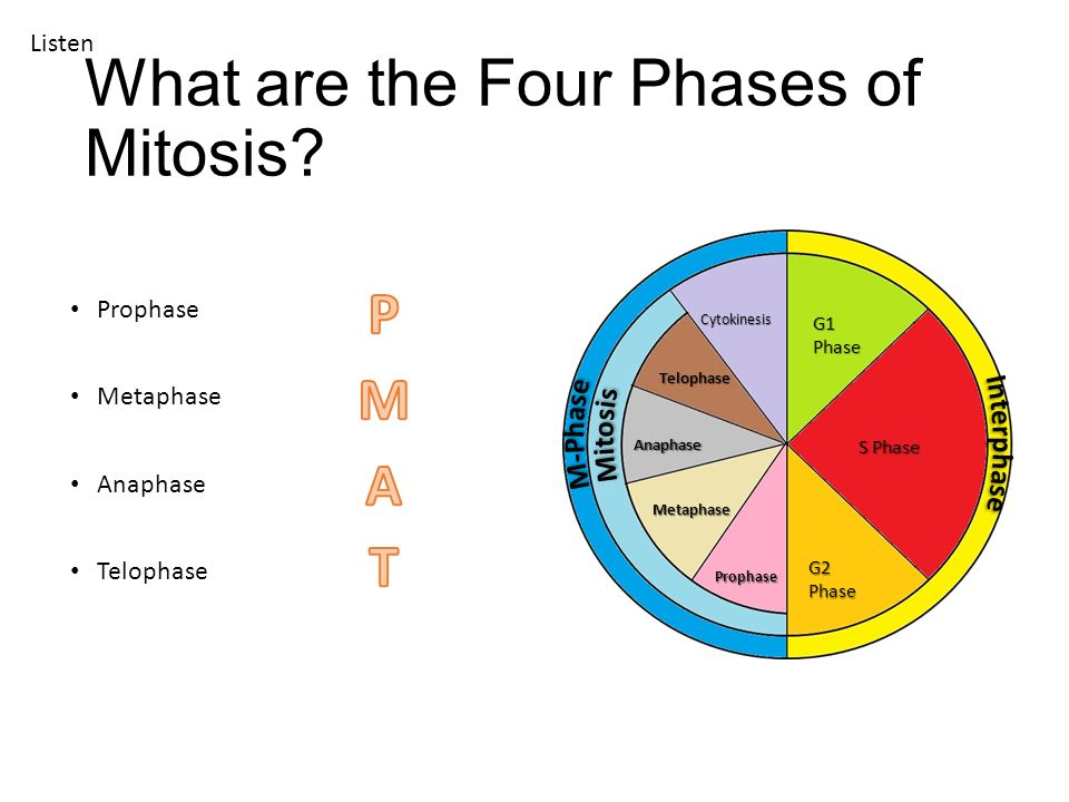 four phases of mitosis and cytokinesis relationship