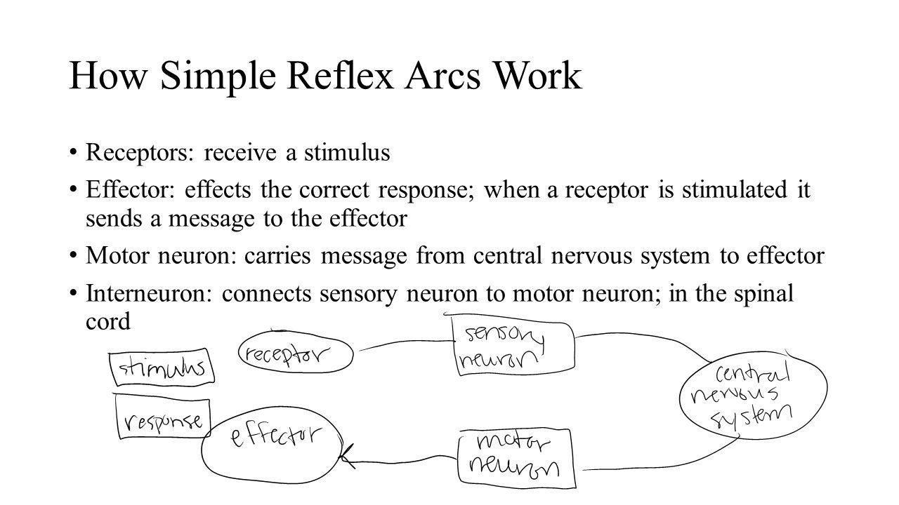Nervous system erica bien ppt video online download for How does a simple motor work