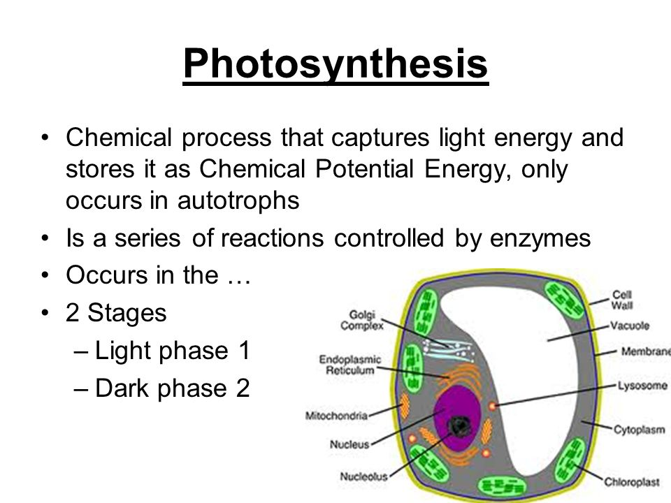 Photosynthesis and respiration ppt video online download 2 photosynthesis ccuart