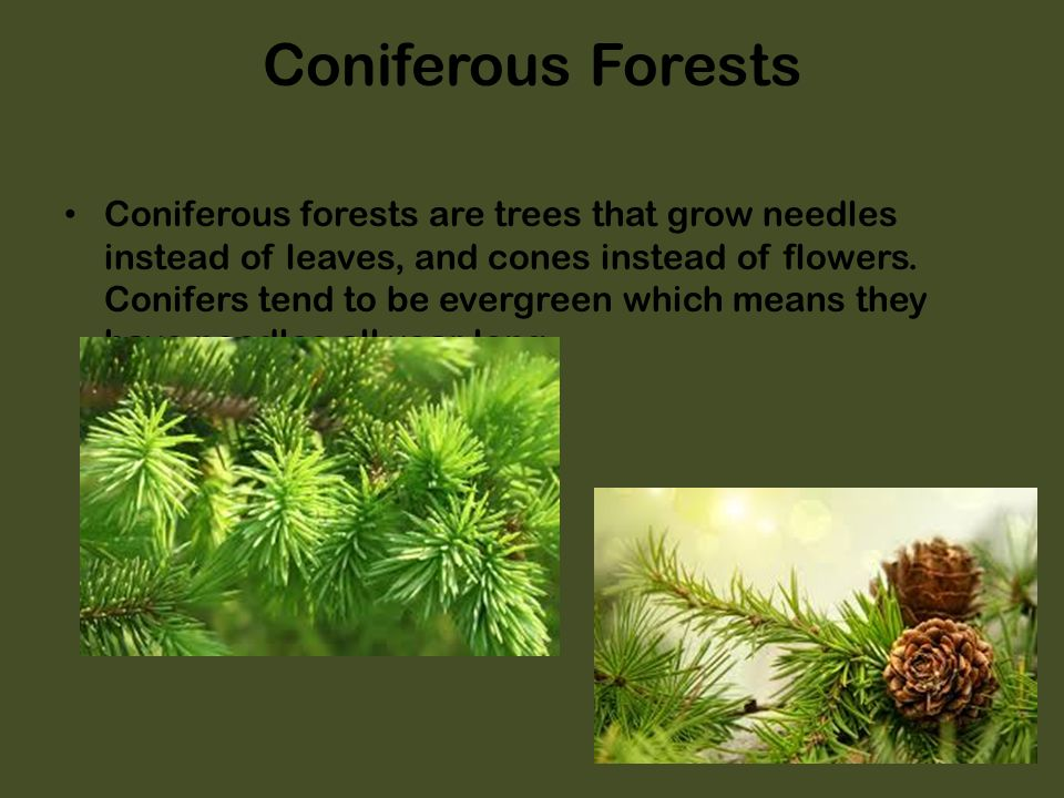coniferous vs deciduous forest Abstract questions: 1 are there differences among species in their preference for coniferous vs deciduous forest 2 are tree and shrub species better colonizers of recent forest stands than herbaceous species.