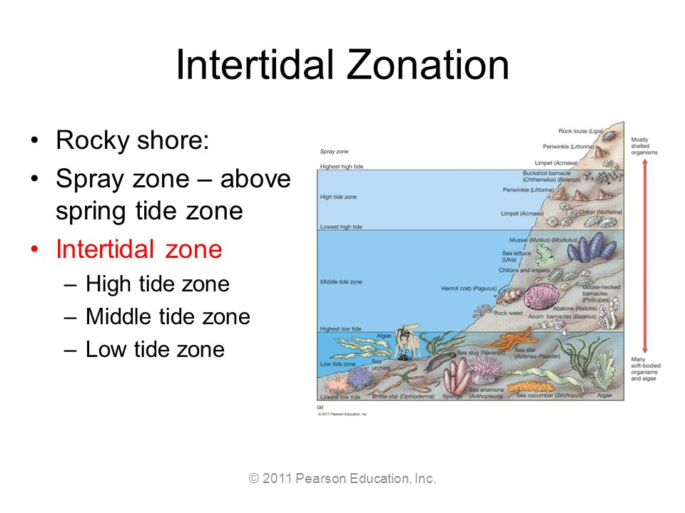 Zonation On A Rocky Shore Term paper