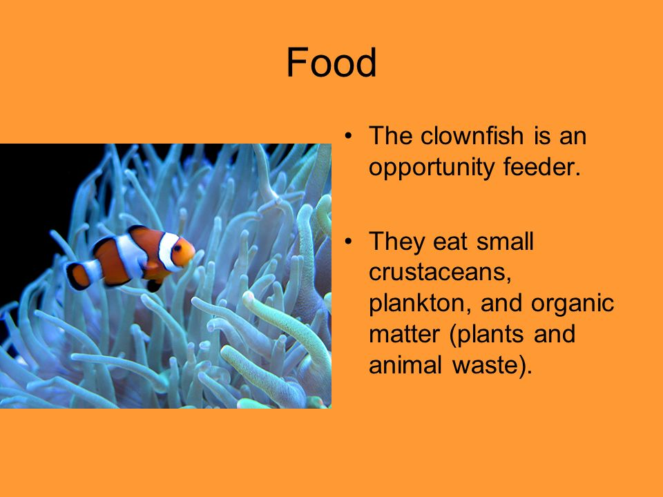 Orange clownfish ppt video online download for What do clown fish eat