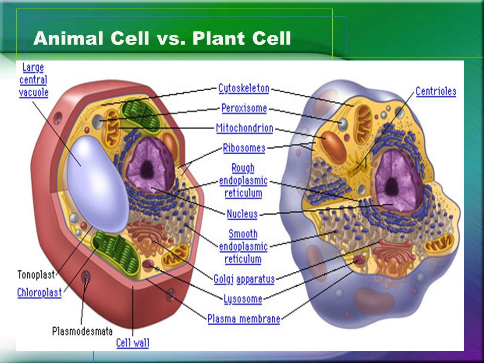 Eukaryotic Cell Structure and Function Animal and Plant ...