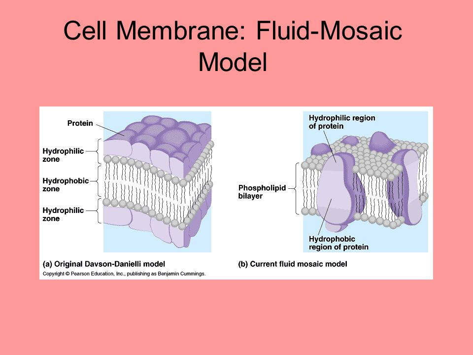 how to create a cell membrane model