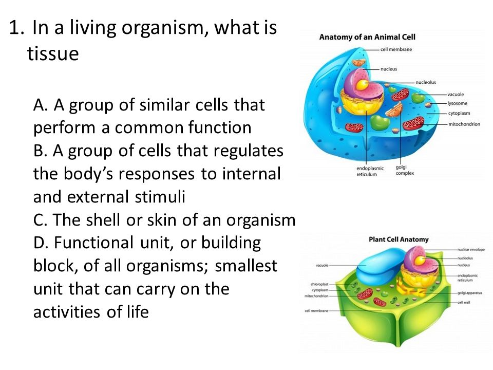 In a living organism what is tissue ppt video online download in a living organism what is tissue ccuart Images