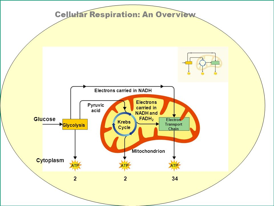 glucose and cellular respiration