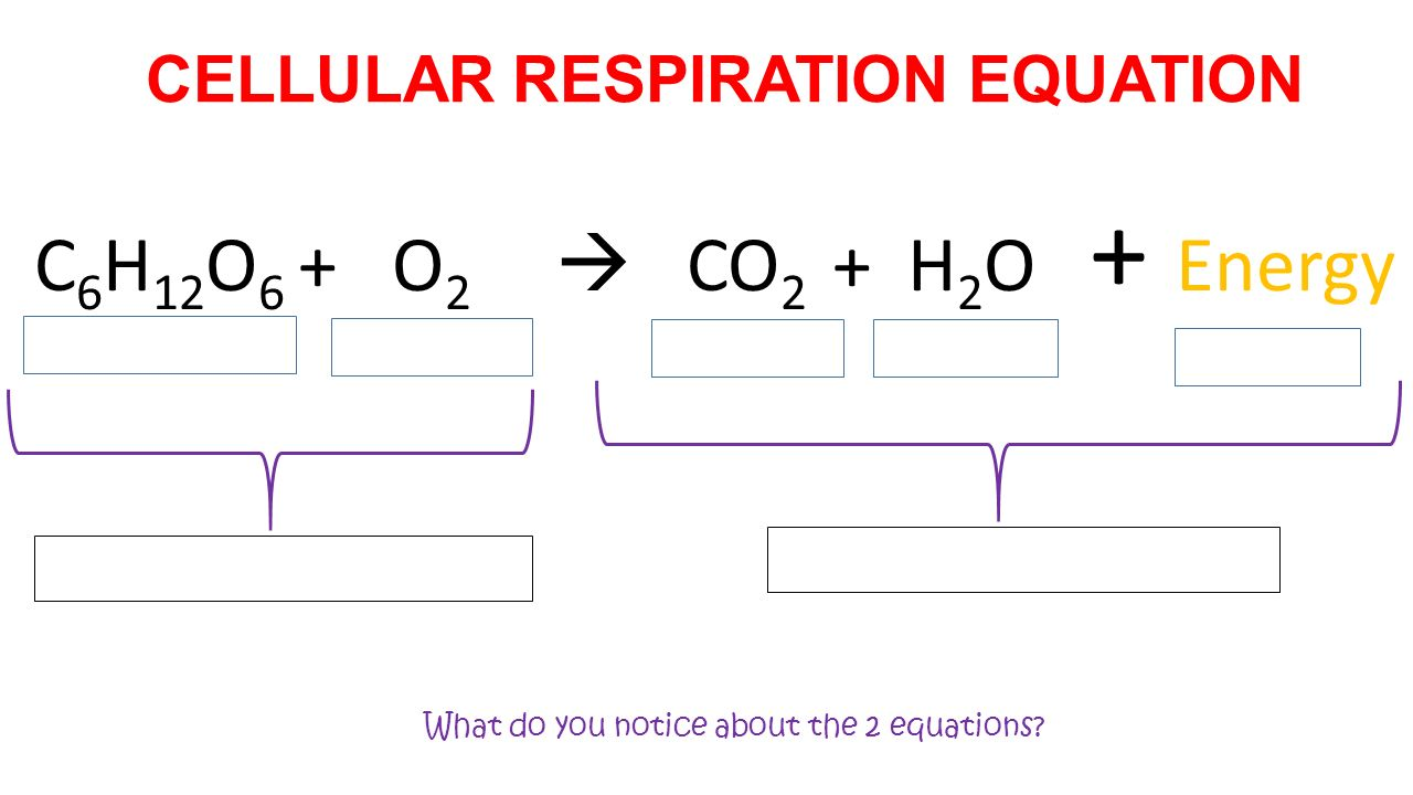 Unit 4 Cell Energetics Exploration and Introduction to – Cell Respiration Worksheet