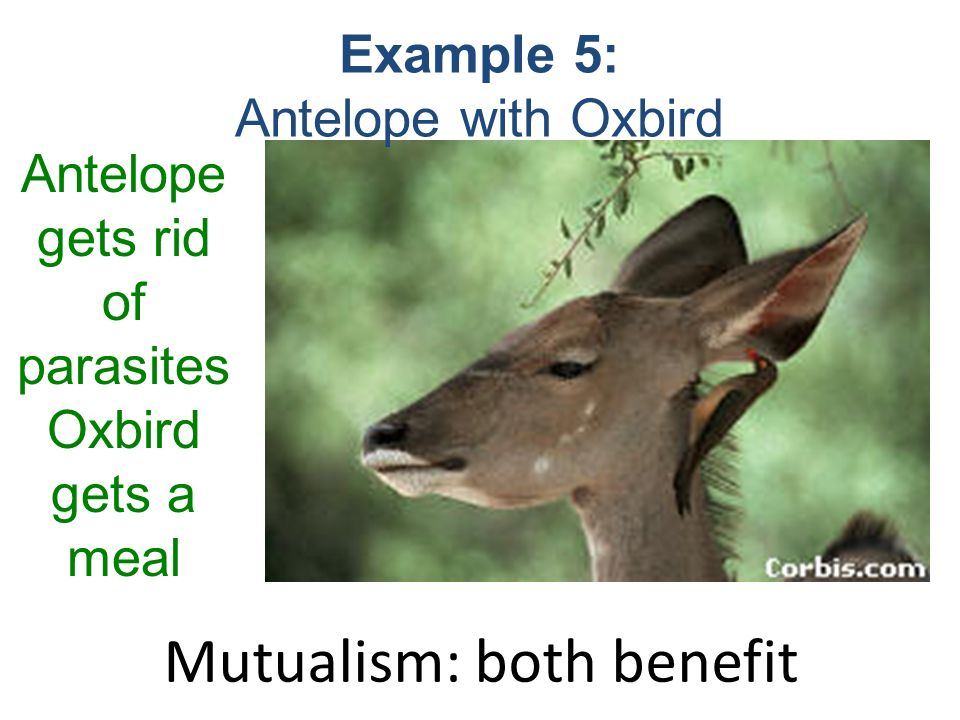 oxbird and antelope relationship questions