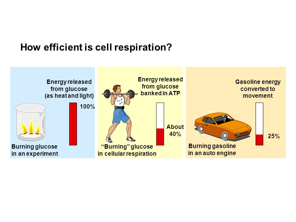 cellular respiration experimental design Lab 6 – fermentation & cellular respiration  you and your group will design and carry out a new experiment to expand on what  experimental plan, and identify .