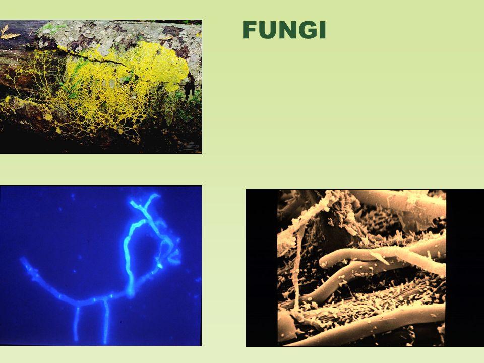 endomycorrhizal slide - photo #23