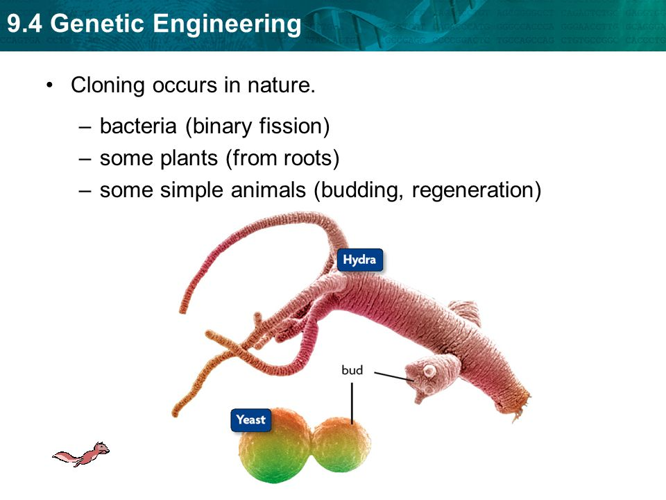 the concept of animal cloning Clones of other cells and some plants and animals can also be produced in a laboratory see also therapeutic cloning  a copy of a sequence of dna, as from a gene, that is produced by genetic engineering.
