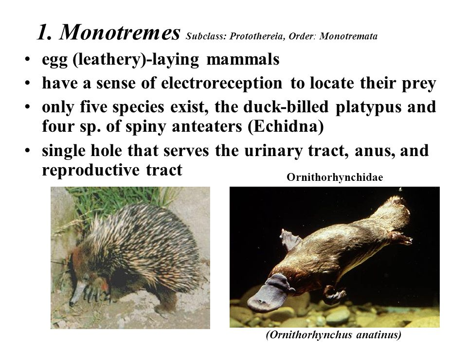List Of Synonyms And Antonyms Of The Word Monotremes Reproduction