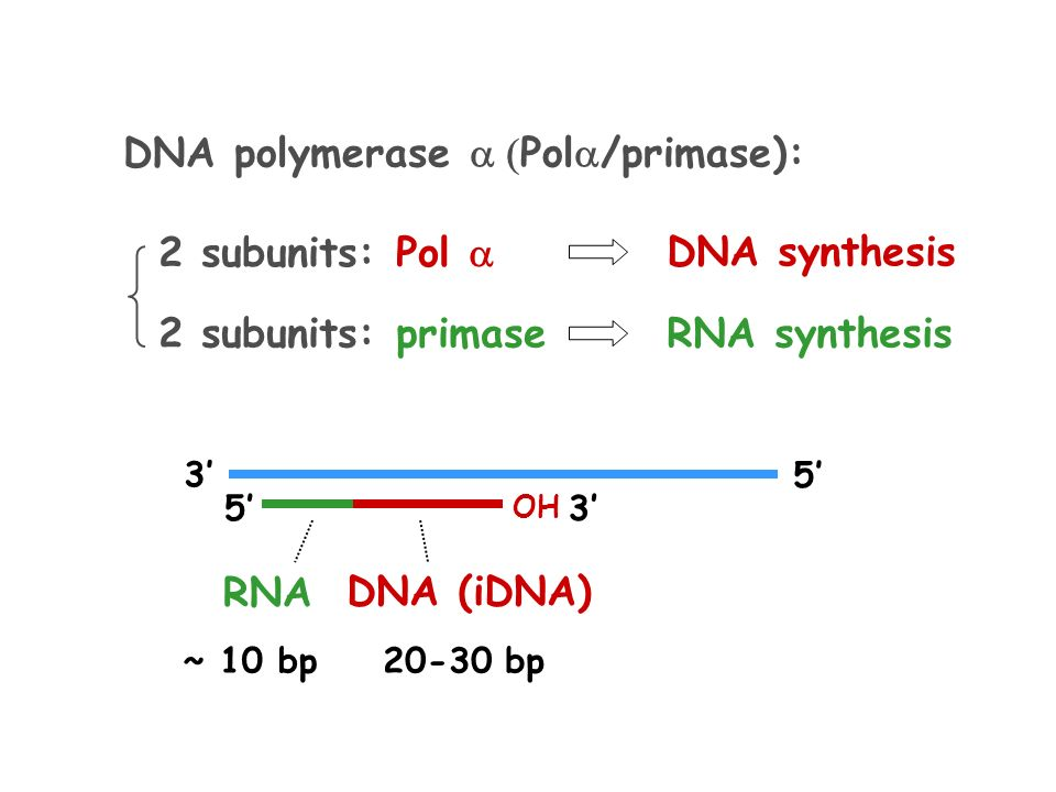 Where does RNA polymerase attach to DNA?