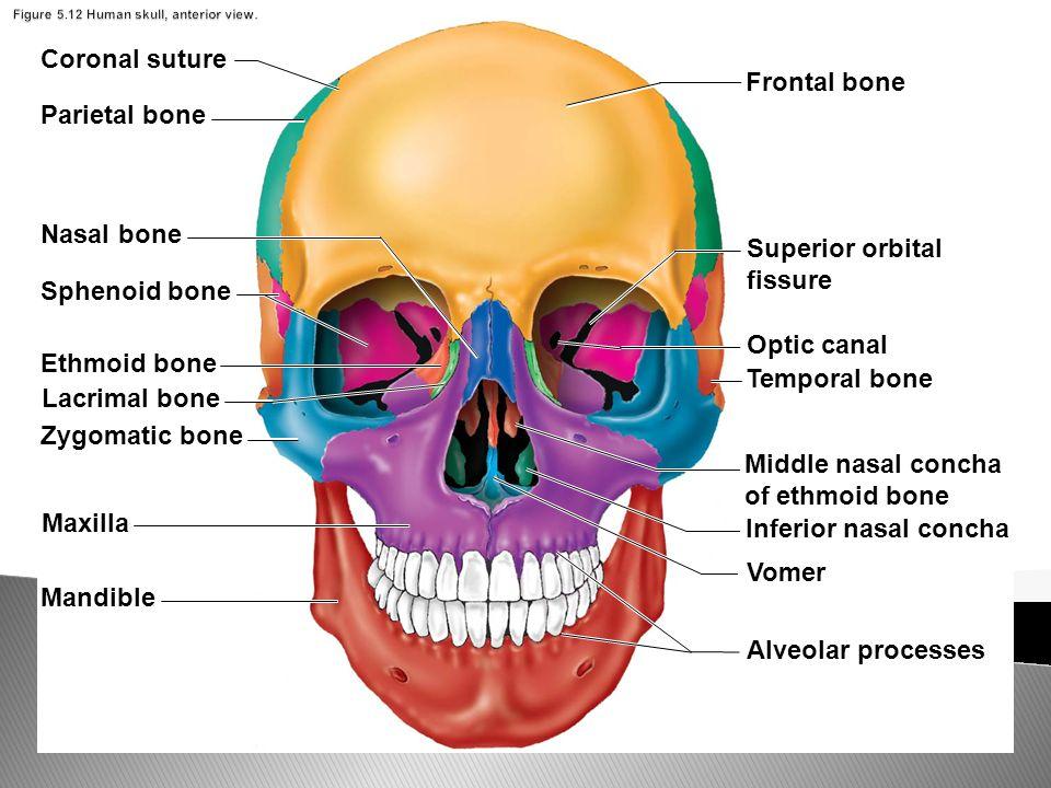 Figure Human Skull C Anterior View
