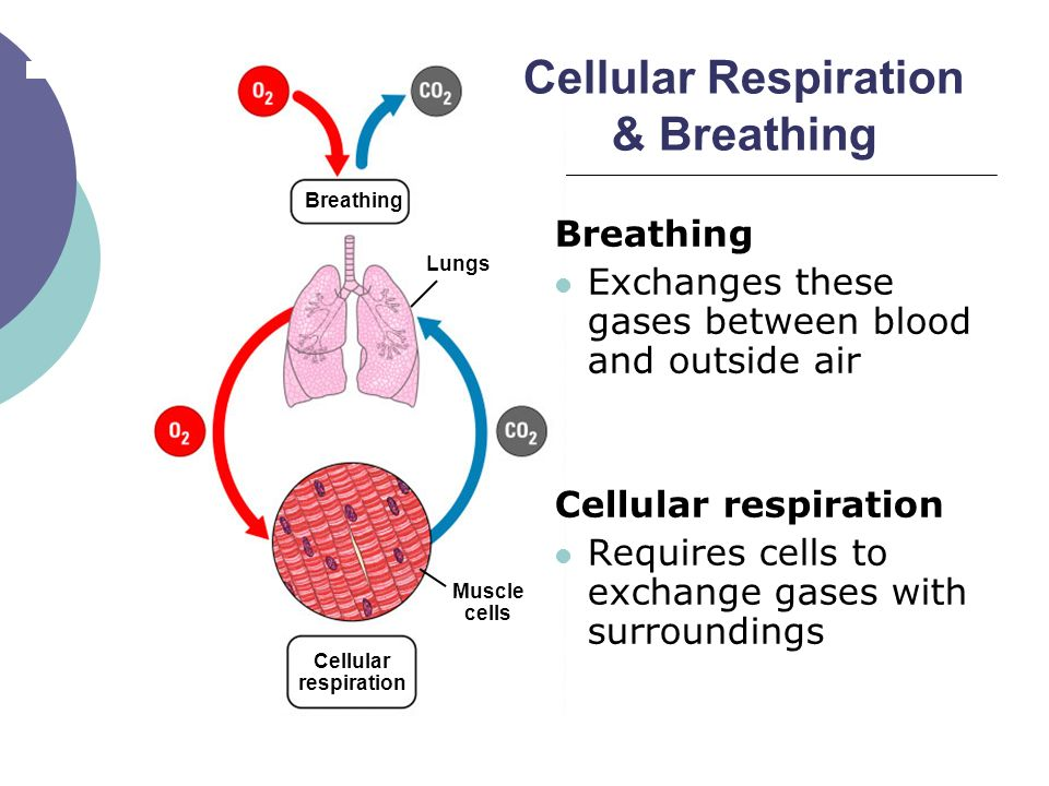 biology cellular respiration