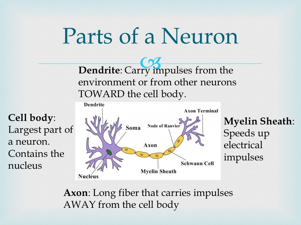 The Nervous System Read 35 2 Take Notes And Answer