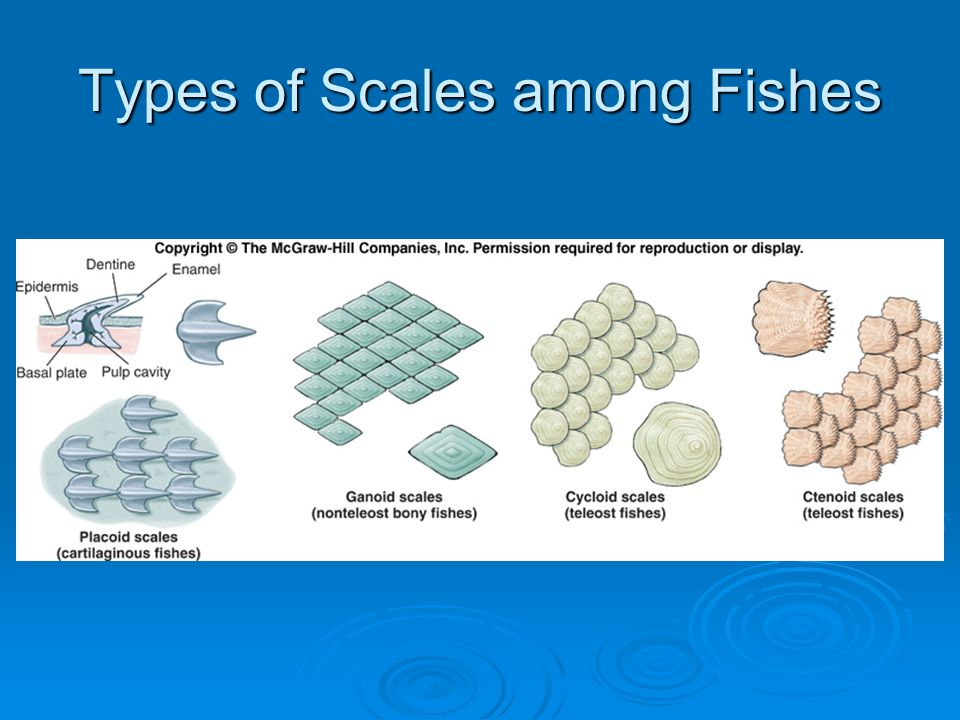 Vertebrata the fishes ppt video online download for Do all fish have scales