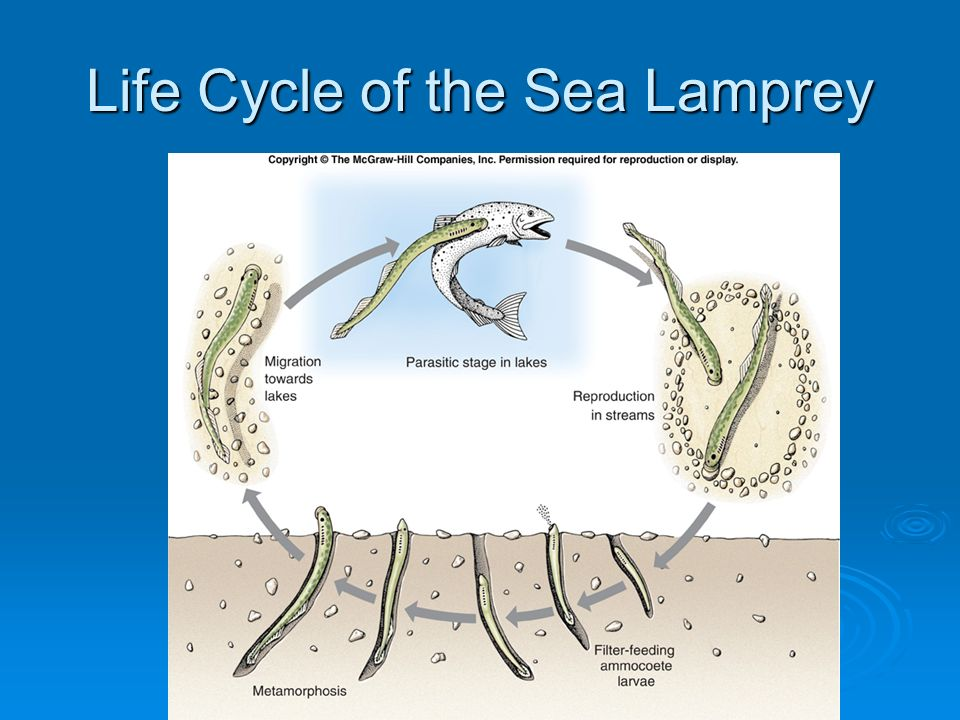 the characteristics and life cycle of the sea lamprey Sea lamprey physical characteristics the amount of sea lampreys and how enghtm the physical characteristics and the life cycle does not.