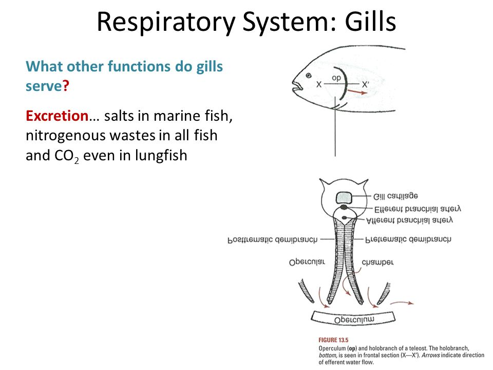 Introduction to respiratory system ppt video online download for Do all fish have gills