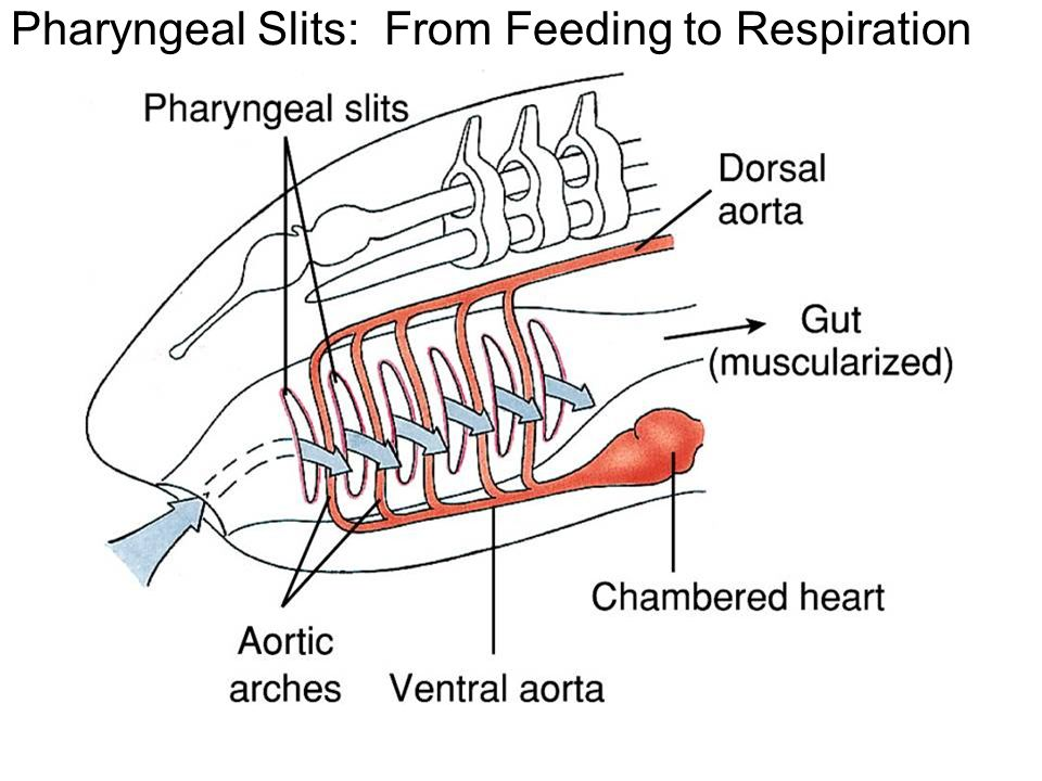 Pharyngeal slits related keywords pharyngeal slits long for Arches related to breathing gills in fish