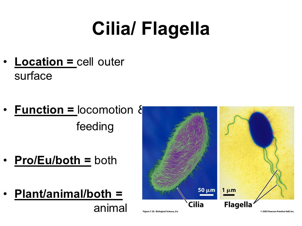 Organelles! Tiny little cell parts…. - ppt video online ...