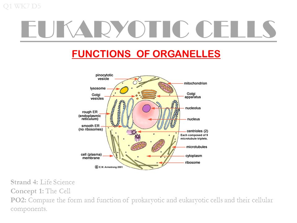 cells and their organelles worksheet 100 images cells and – Function of the Organelles Worksheet