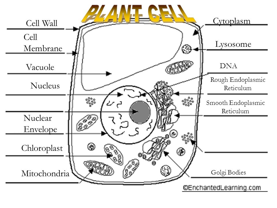 Plant cell cytoplasm diagram
