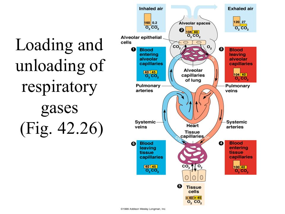 Chap 42 Circulation And Gas Exchange Ppt Video Online Download