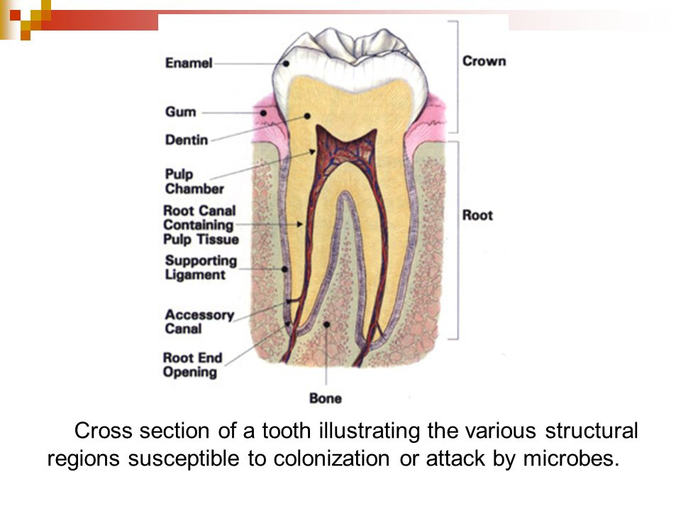 Cross section of a tooth illustrating the various structural regions susceptible to colonization or attack by microbes.