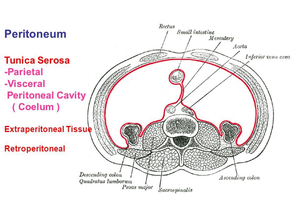 viscual peritial perineum diagram  intertubercular plane - ppt video online download #13
