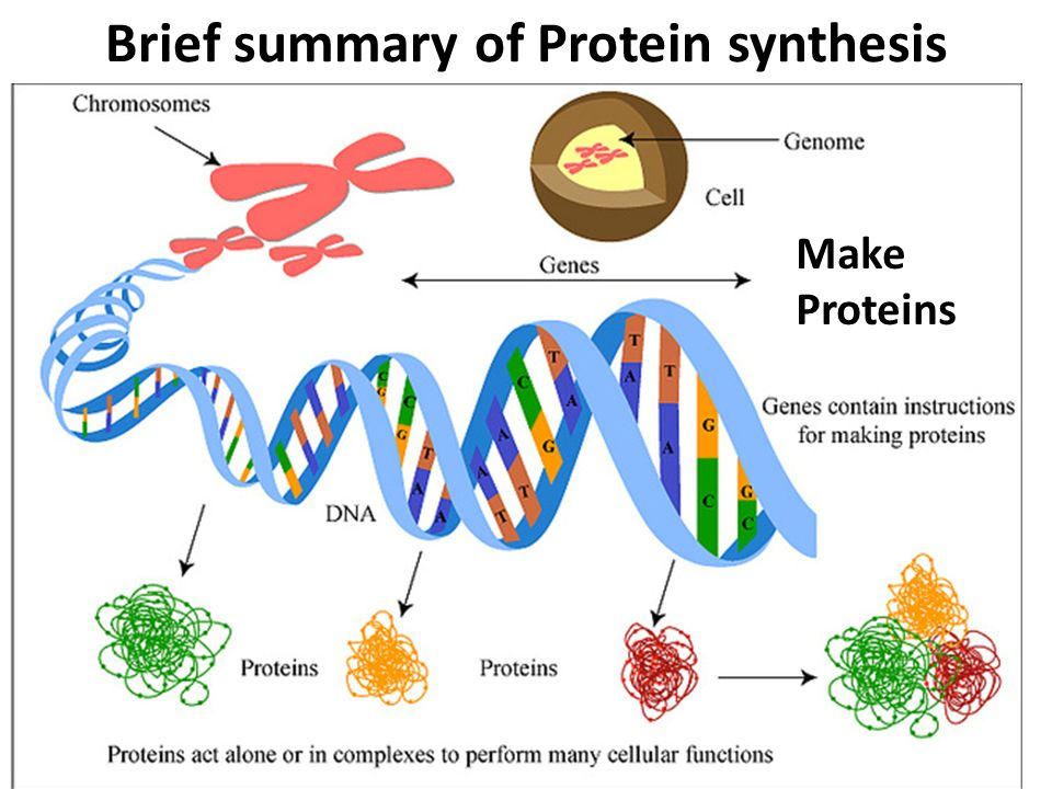protien sythesis How the genetic code is accurately translated into protein  is one of the most  important steps that ribosomes perform in protein synthesis.