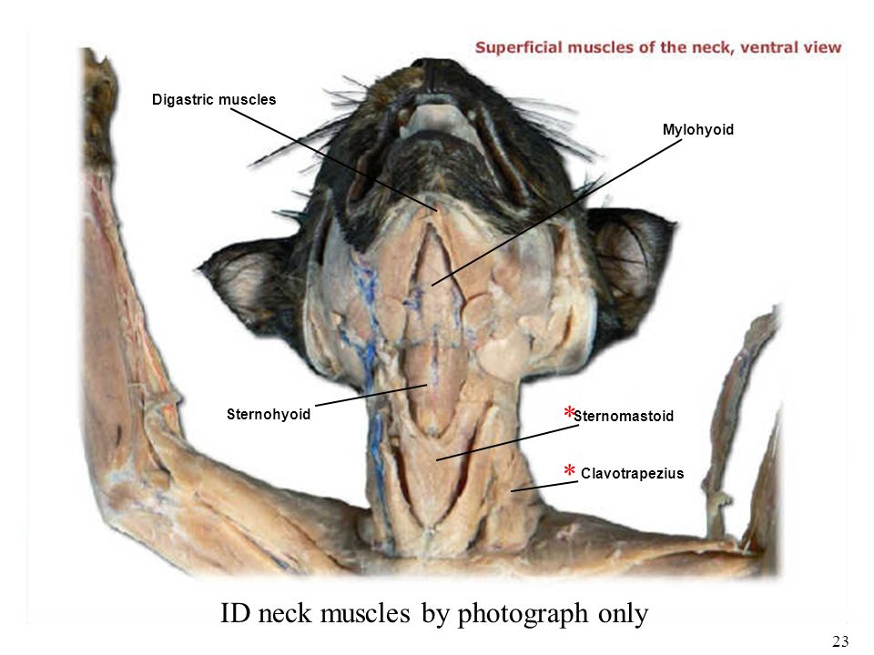 Anatomy of cat muscles