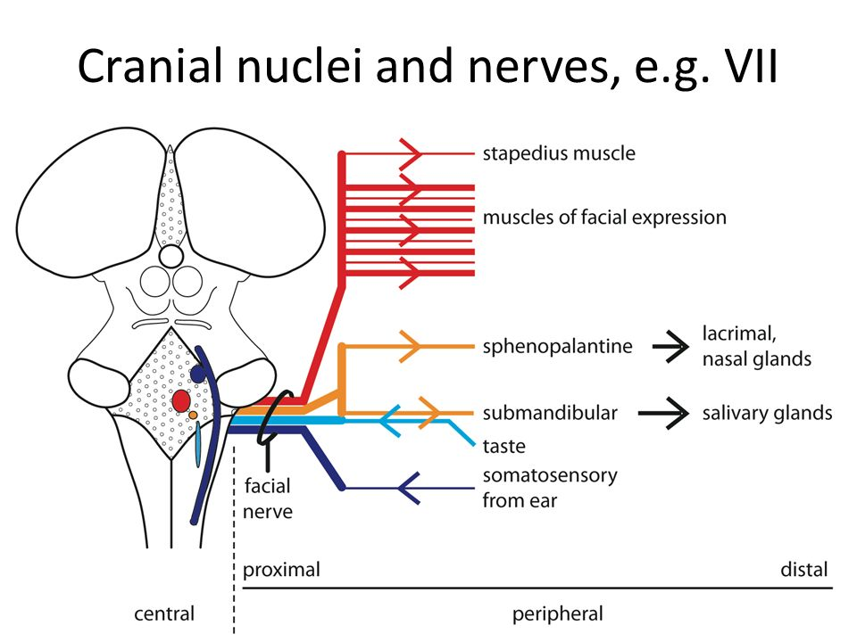 Cranial Nuclei And Nerves Eg Vii Ppt Video Online Download
