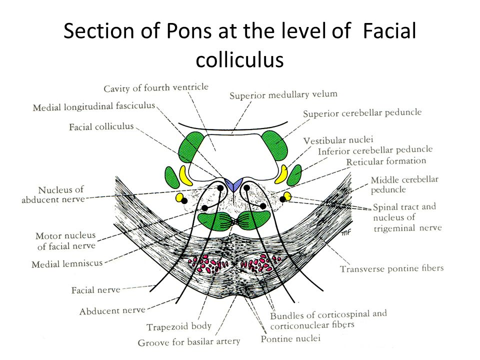 Floor Of Fourth Ventricle Ppt Anatomy Of Meninges