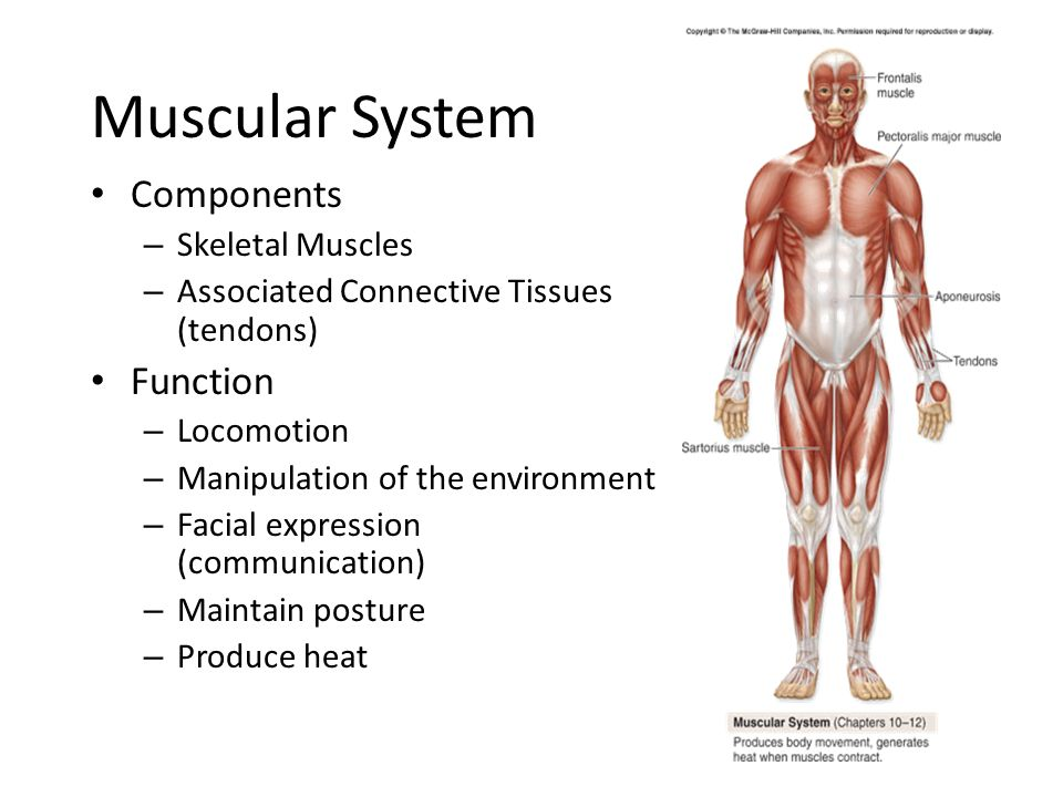 muscular and skeletal system essay Skeletal system essay  can cause infection of free download as years of free at uc san diego healthcare system muscular system your skeletal system is made up of.