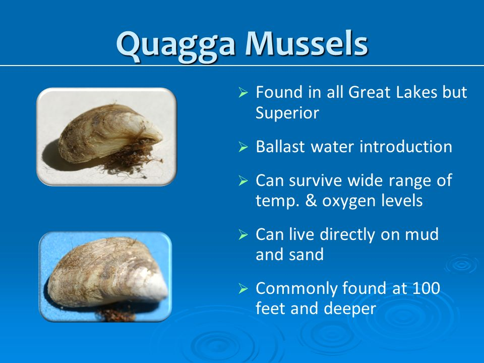 Quagga Mussels Found in all Great Lakes but Superior