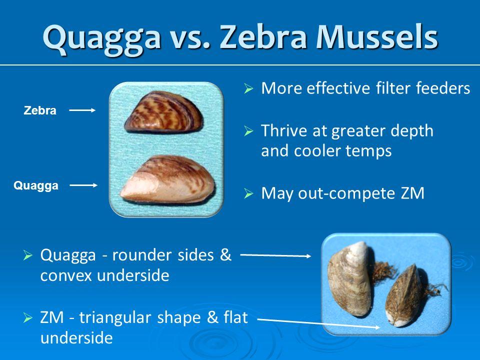 Quagga vs. Zebra Mussels