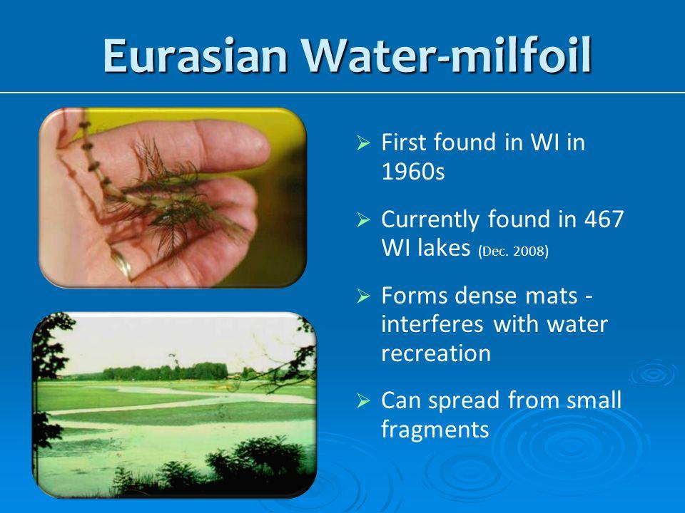 Eurasian Water-milfoil