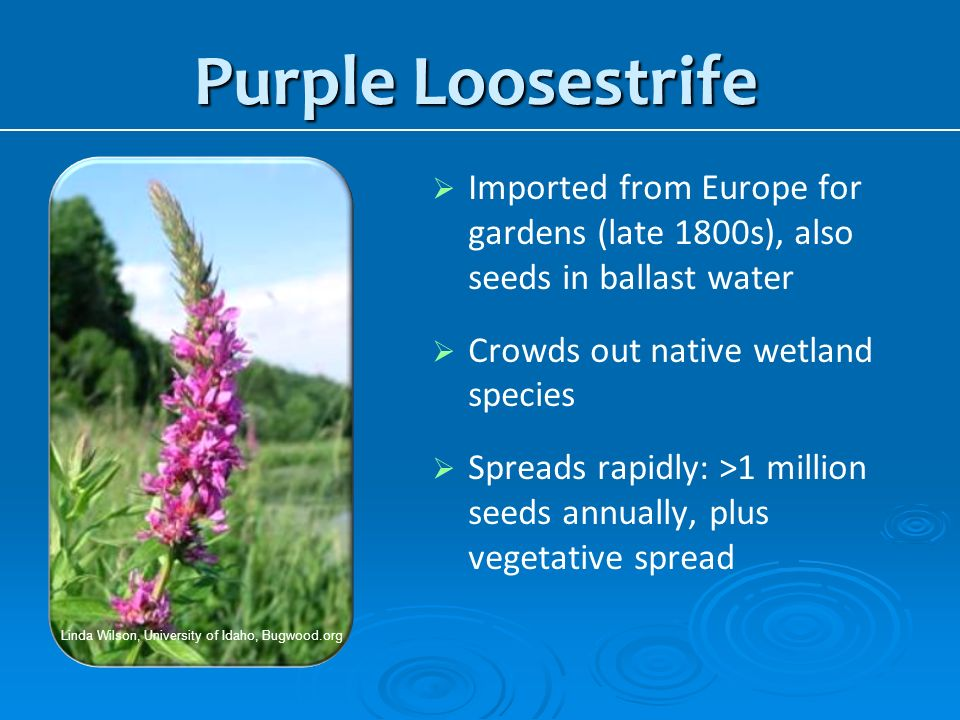 Purple Loosestrife Linda Wilson, University of Idaho, Bugwood.org. Imported from Europe for gardens (late 1800s), also seeds in ballast water.